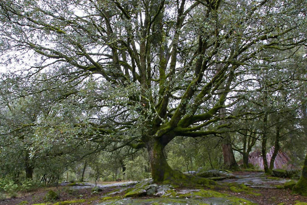 DSC_0040 Mother Live Oak at Burton low res